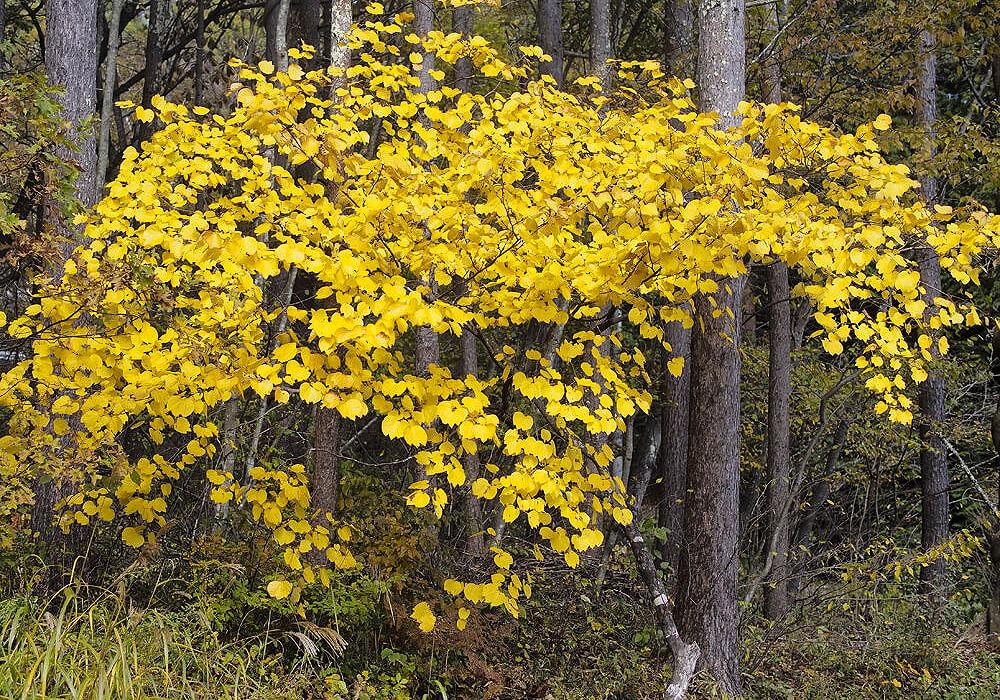 ダンコウバイの木