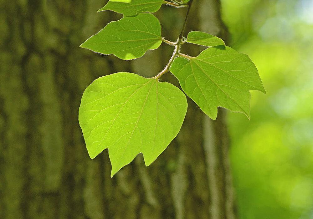 ダンコウバイの葉