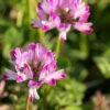 ゲンゲの花