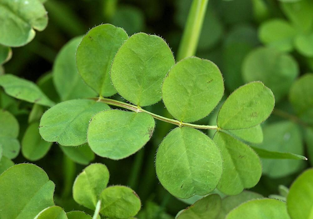 ゲンゲの葉