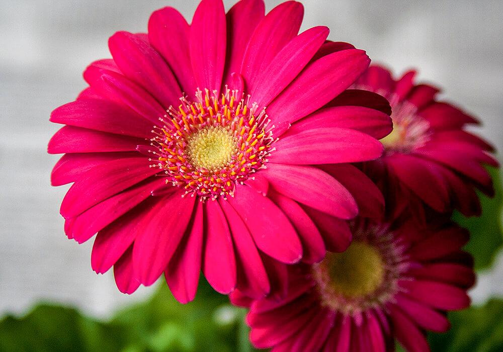 ガーベラの花の拡大