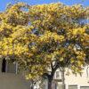 ギンヨウアカシアの木