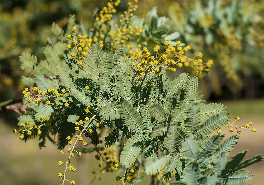 ギンヨウアカシアの葉