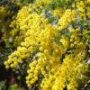 ギンヨウアカシアの花