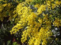ギンヨウアカシアの植物図鑑と育て方