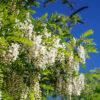 ハリエンジュの花