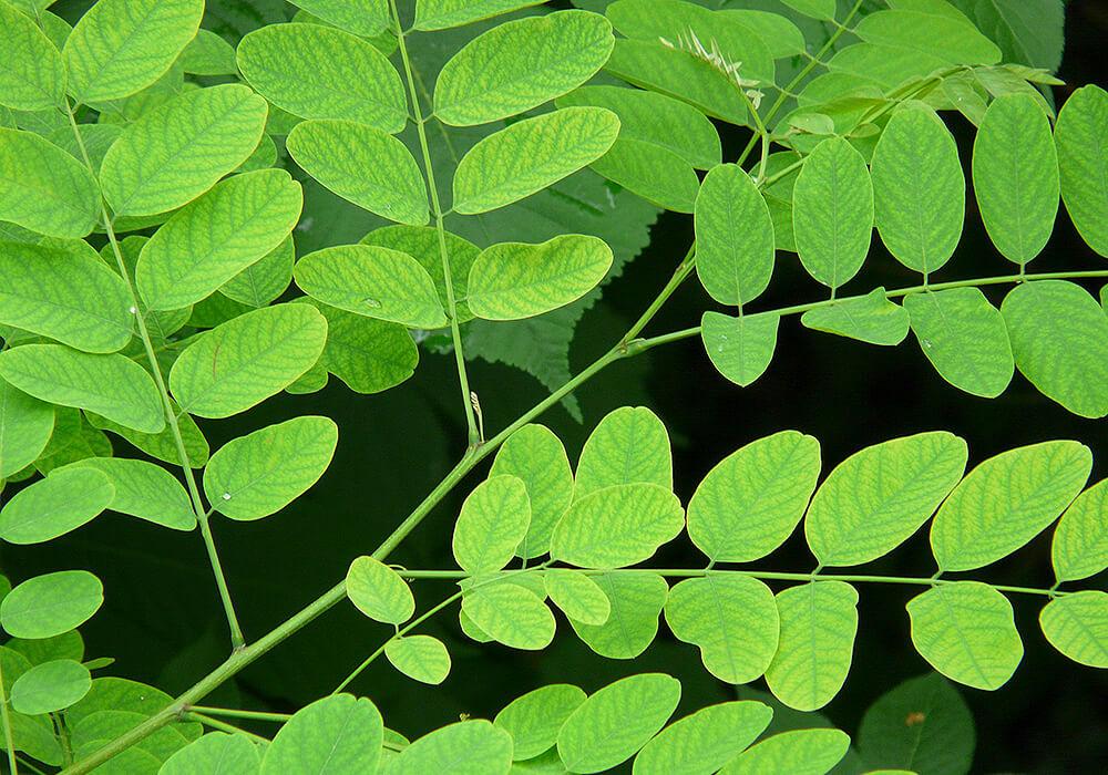 ハリエンジュの葉