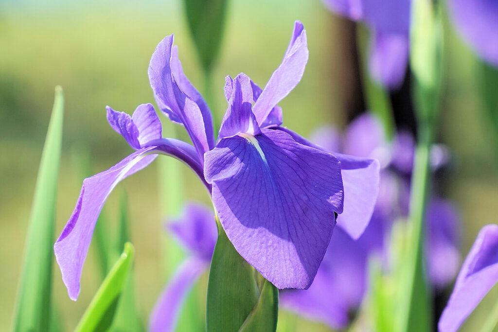 カキツバタの花の拡大