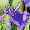 カキツバタの植物図鑑と育て方