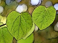 カツラの植物図鑑と育て方