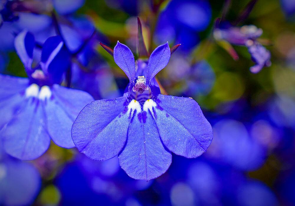 ロベリアの花の拡大