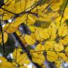 ミズメの黄葉
