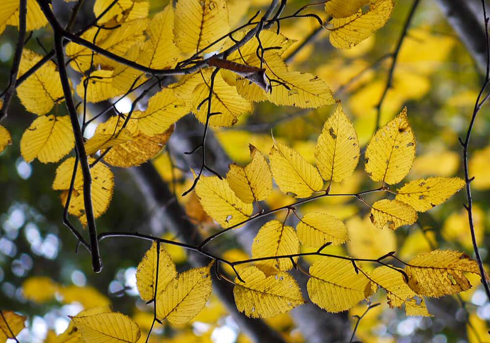 ミズメの黄葉した葉