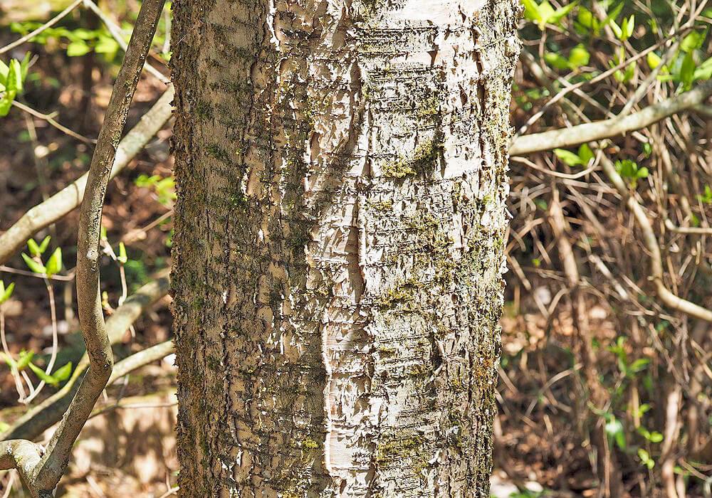ミズメの樹皮