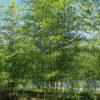 ナリヒラダケの竹林