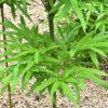ナリヒラダケの葉