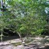 シロモジの木