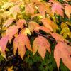 シロモジの紅葉