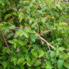 ウグイスカグラの枝葉