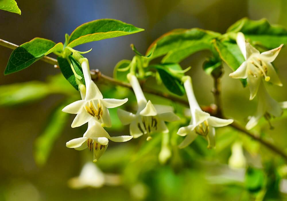 ウグイスカグラの白い花