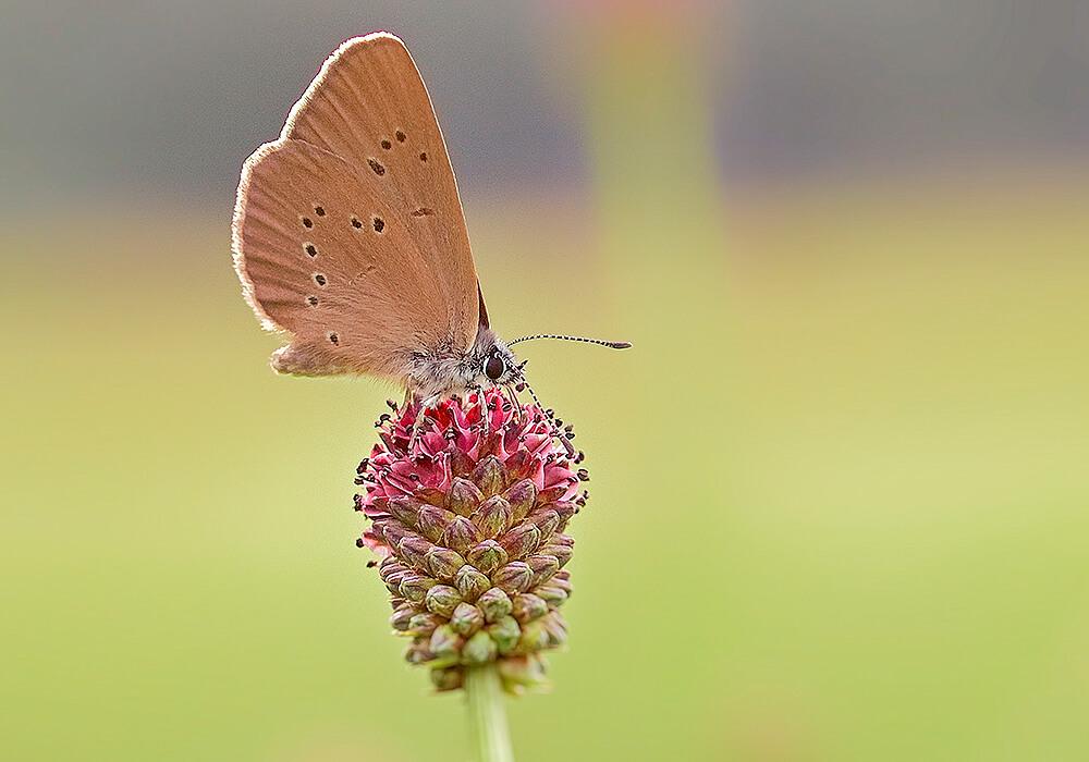 ワレモコウと蝶