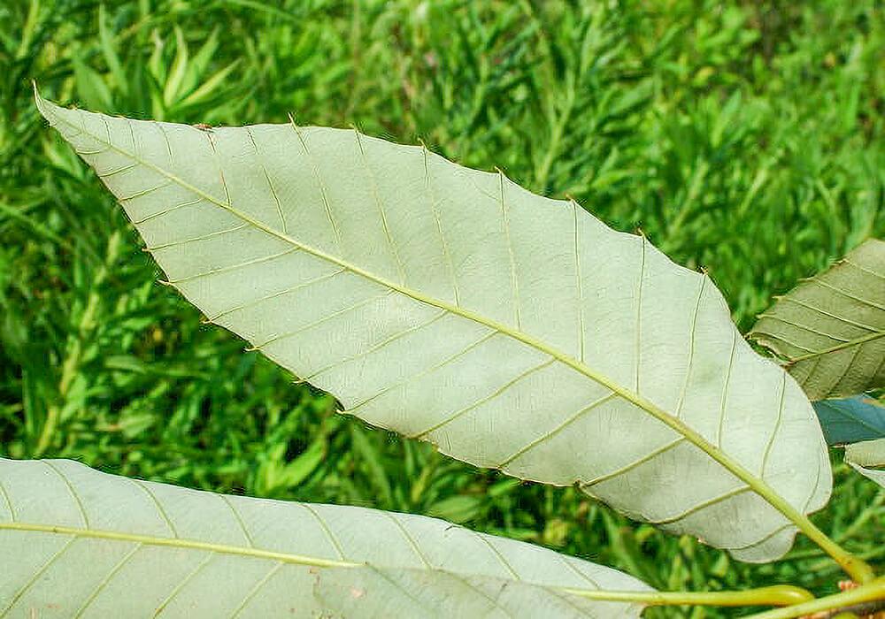 アベマキの葉の裏面