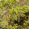 アベマキの花