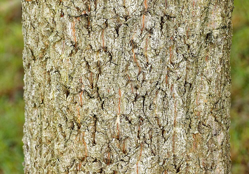 アベマキの樹皮