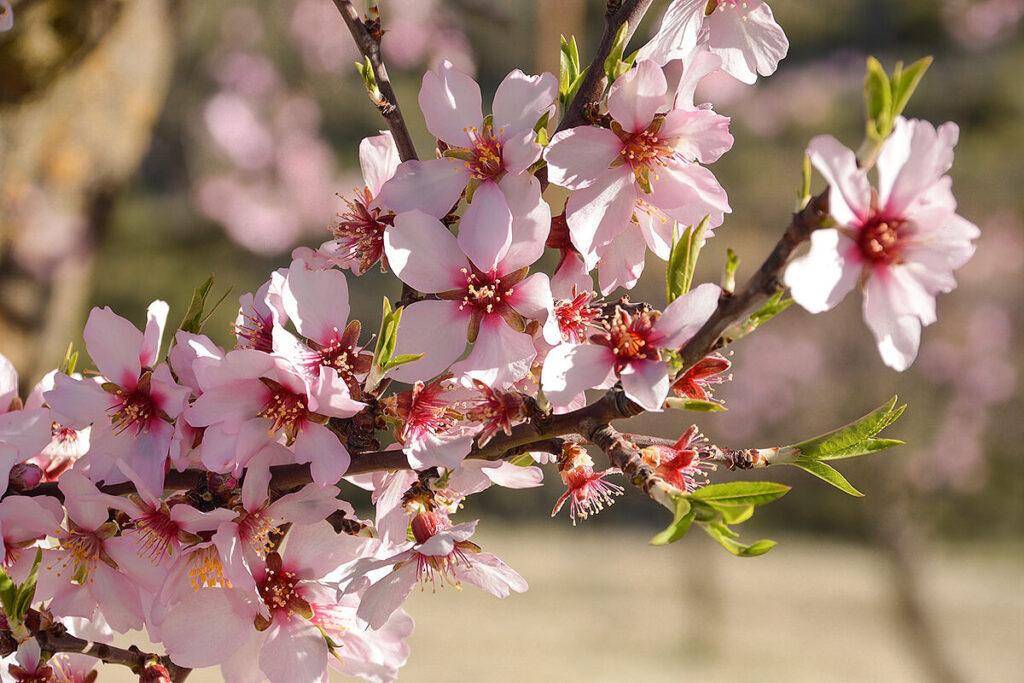 アーモンドの花が咲いた枝