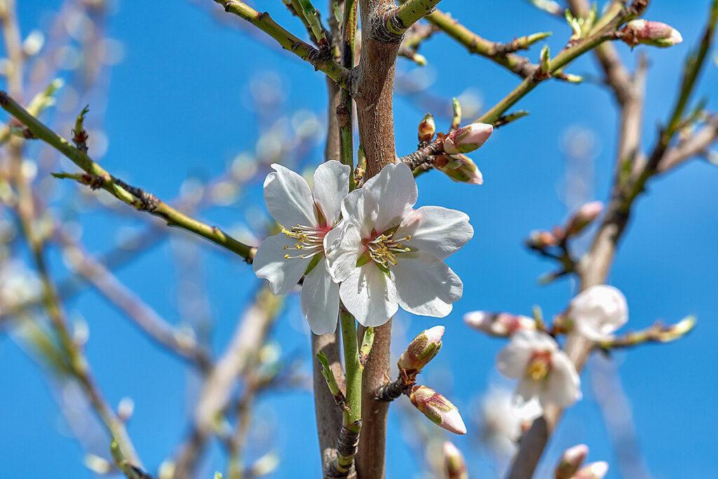 アーモンドの白い花