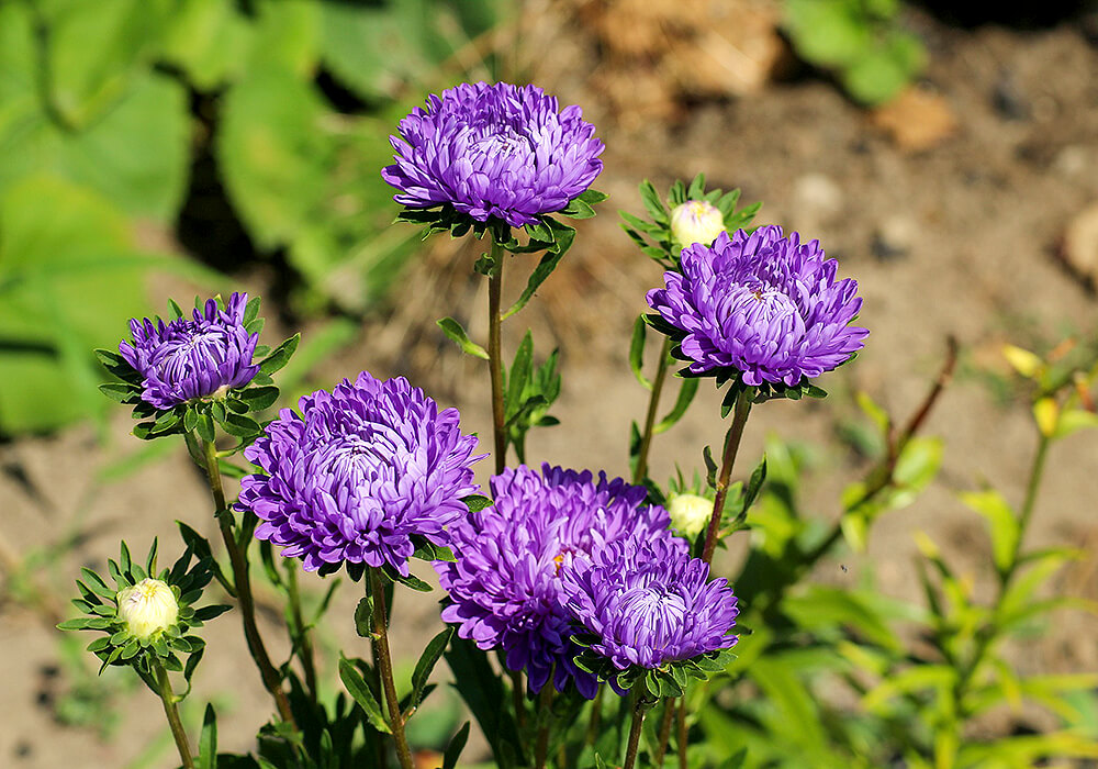 紫色のエゾギク
