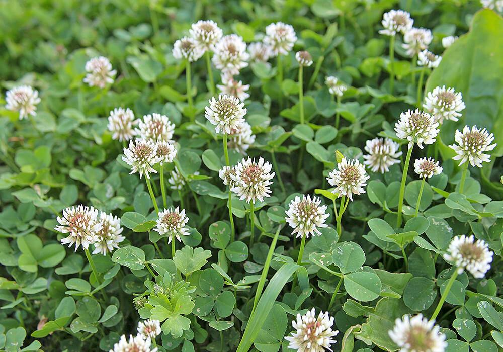 シロツメクサの花
