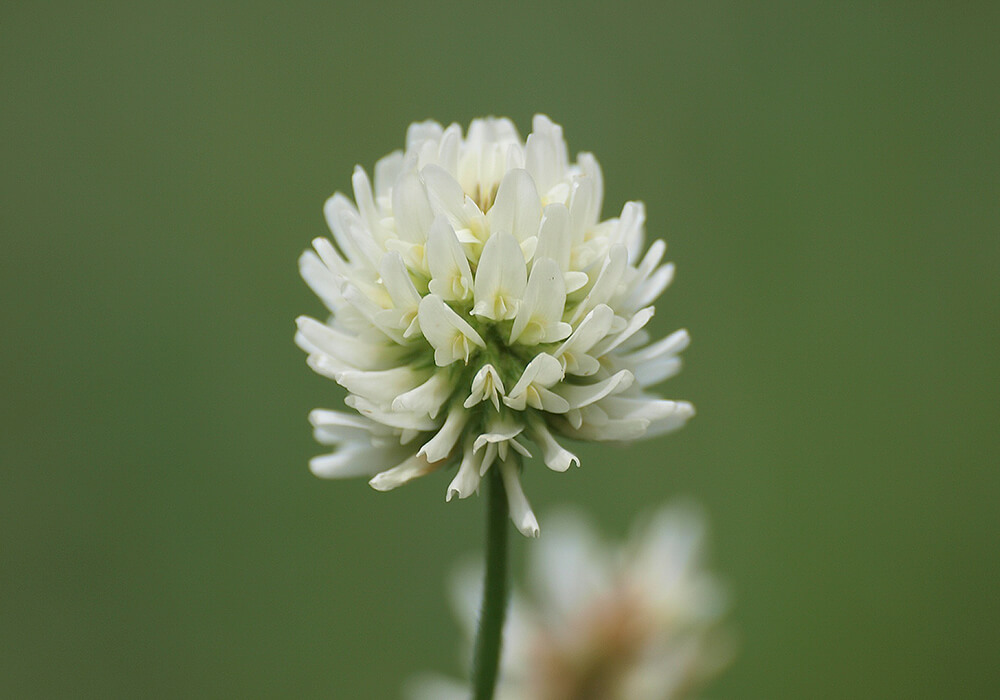 シロツメクサの花の拡大