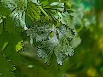 コリアンダーの植物図鑑と育て方