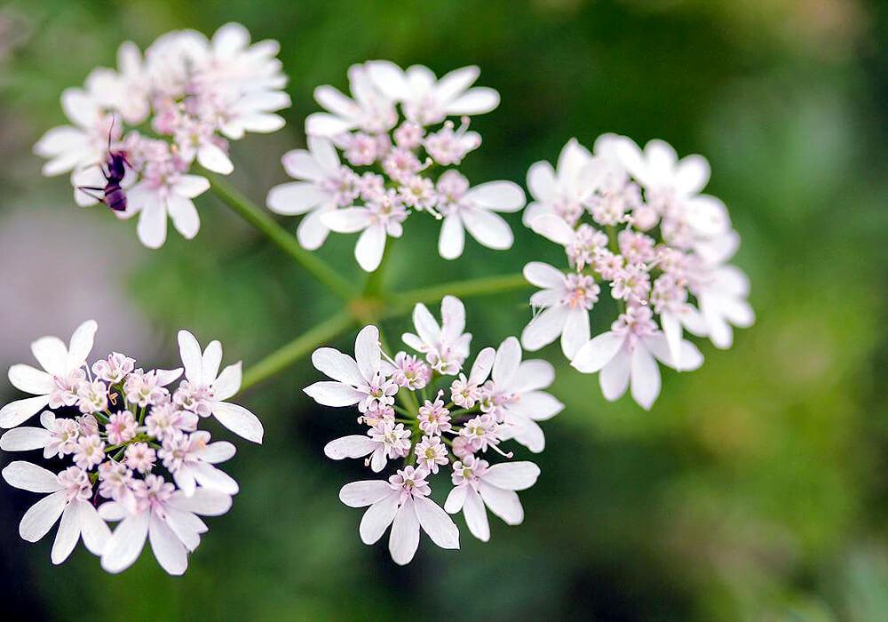 コリアンダーの花の拡大