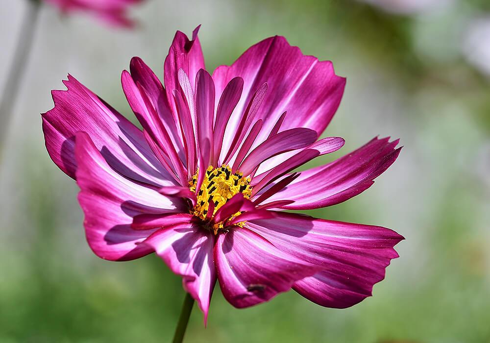 コスモスのピンクの花