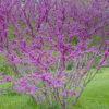 ハナズオウの木