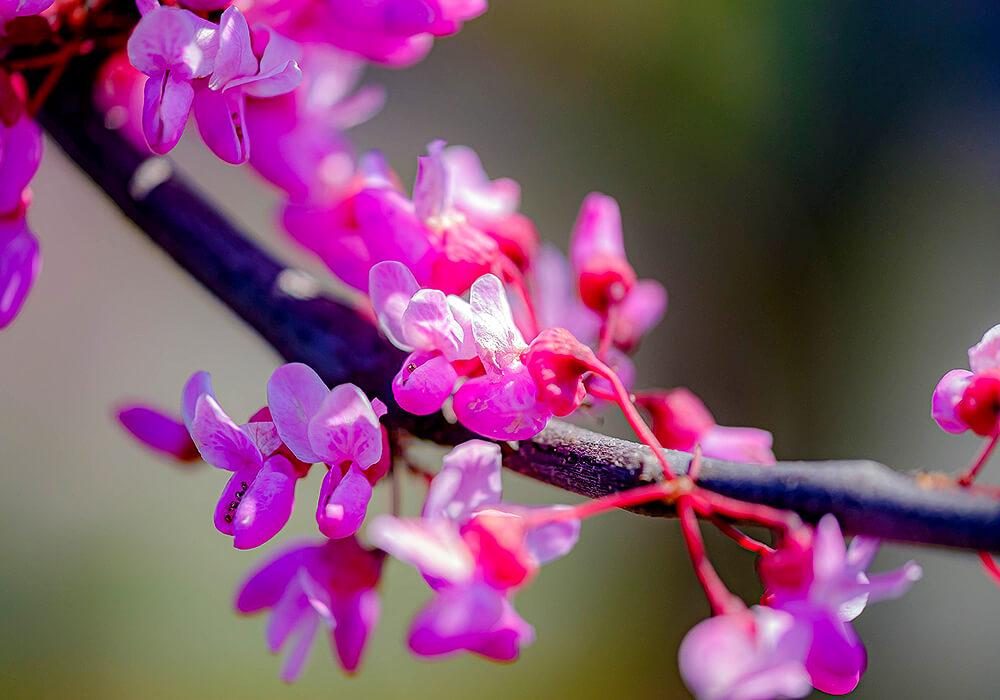 ハナズオウの花の拡大