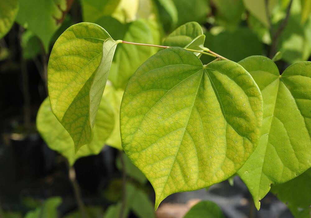 ハナズオウの葉