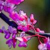 ハナズオウの植物図鑑と育て方