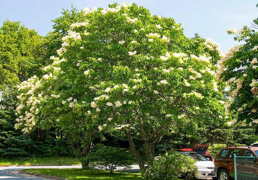 ハシドイの木