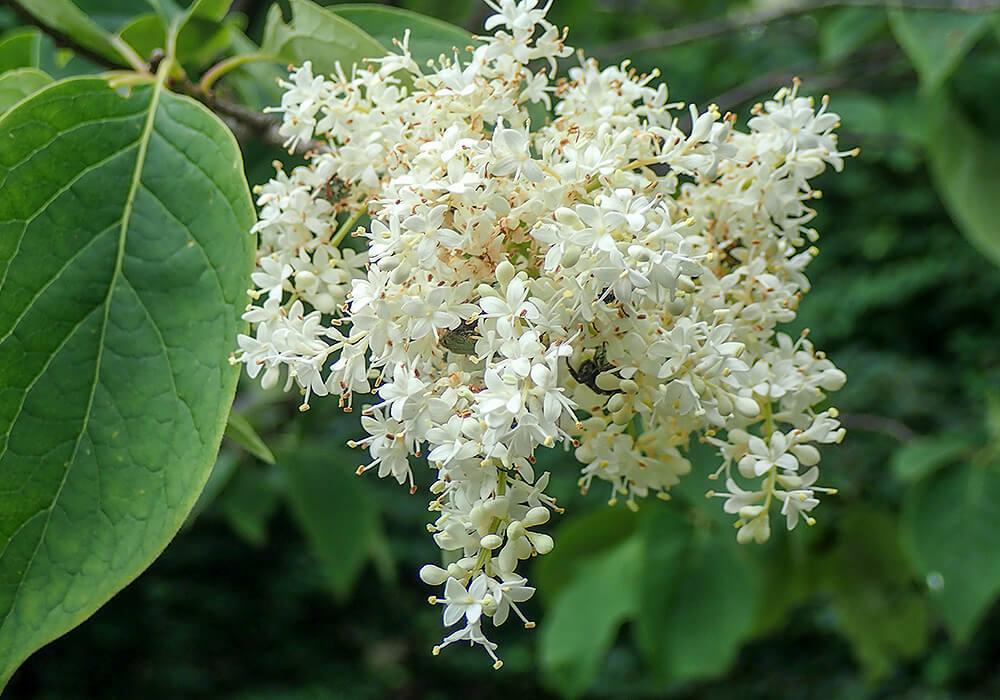 ハシドイの花の拡大