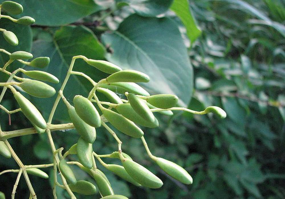 ハシドイの果実