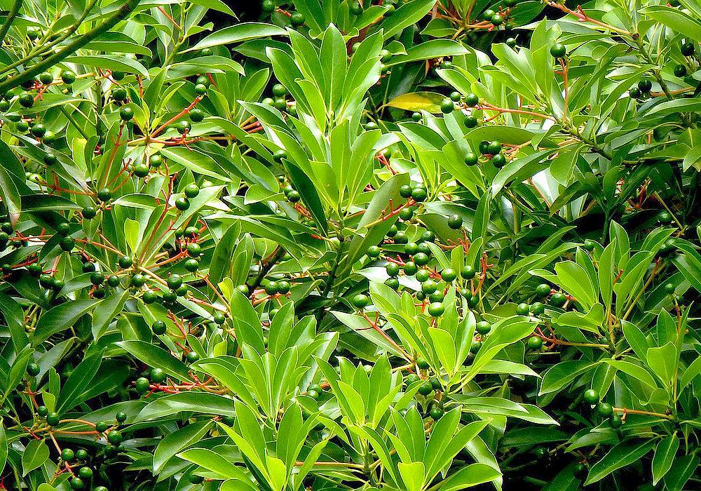 ホソバタブの木