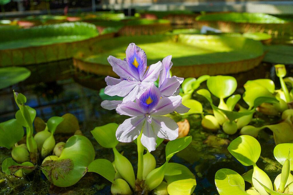 水面に咲くホテイアオイ