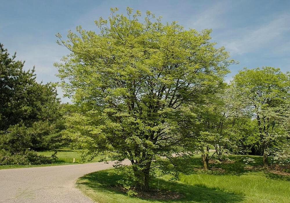 イヌエンジュの木