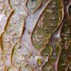 イヌエンジュの樹皮