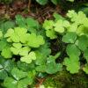 カタバミの葉