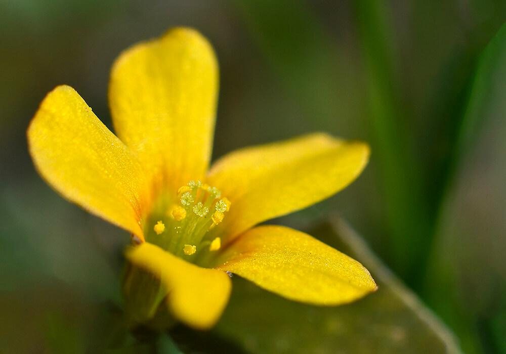 カタバミの花の拡大