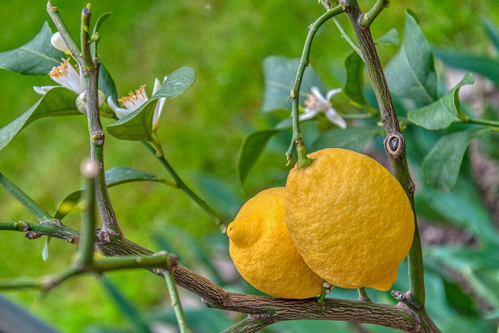 レモンの花と果実